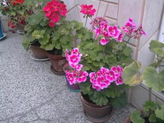 Покажете цветята във  вашата градинка... B1d17fcf9bdc15a9