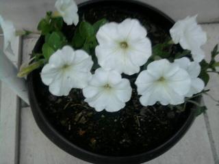 Покажете цветята във  вашата градинка... 07fe2605c4114756