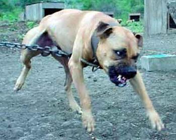 Game Dogs - Page 3 - Pitbulls : Go Pitbull Dog Forums